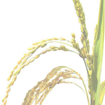 stalking-rice-genome-fade.jpg